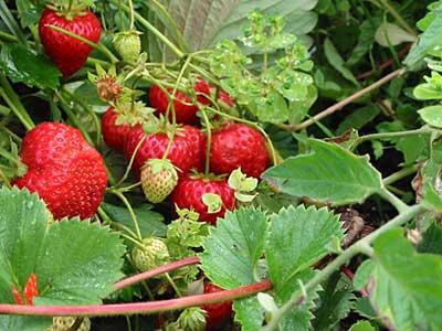 Неустойчивость тайного сговора на примере сборщиков урожая