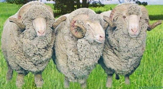 Овцы пожирают людей: о чем идет речь в это фразе?